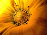 Fototapety KWIATY żółte 9069 mini