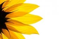 Fototapety KWIATY żółte 9071 mini
