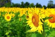 Fototapety KWIATY żółte 9073 mini