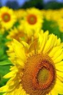 Fototapety KWIATY żółte 9074 mini