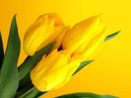 Fototapety KWIATY żółte 9077 mini
