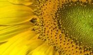 Fototapety KWIATY żółte 9082 mini