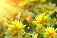 Fototapety KWIATY żółte 9085 mini