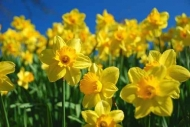 Fototapety KWIATY żółte 9087 mini