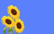 Fototapety KWIATY żółte 9089 mini