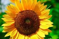 Fototapety KWIATY żółte 9090 mini