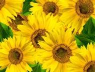 Fototapety KWIATY żółte 9091 mini