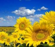 Fototapety KWIATY żółte 9092 mini