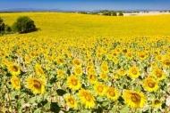 Fototapety KWIATY żółte 9093 mini