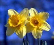 Fototapety KWIATY żółte 9098 mini