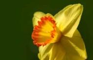 Fototapety KWIATY żółte 9102 mini