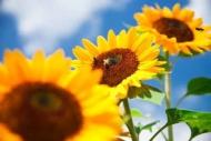 Fototapety KWIATY żółte 9103 mini