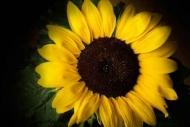 Fototapety KWIATY żółte 9109 mini