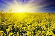 Fototapety KWIATY żółte 9117 mini