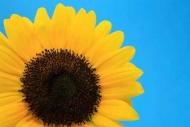 Fototapety KWIATY żółte 9119 mini