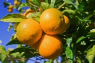 Fototapety DO KUCHNI owocowy koktajl 9457 mini